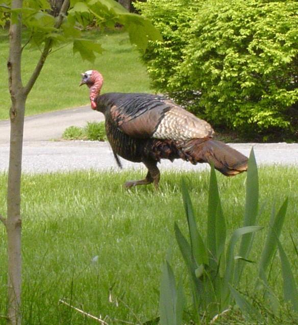 turkey 004
